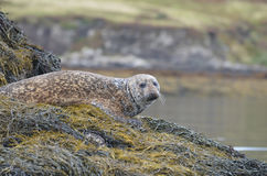 Cute Face of a Harbor Seal royalty free stock images