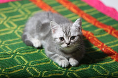 Cute face, newly born kitten. On a green traditional handmade carpet stock photos