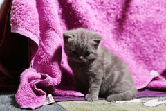 Cute face, newly born kitten. Mauve towel as background stock photos