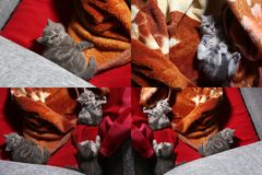 Kittens playing on a traditional carpet, multicam Stock Image