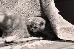 Cute face, newly born kitten. Towels as background royalty free stock photo