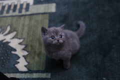 Cute face, newly born kitten. Towels as background royalty free stock images