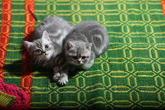 Cute face, newly born kittens Royalty Free Stock Image