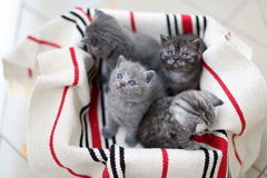 Cute face, newly born kittens looking up. Cute face, newly born kittens on a traditional handmade carpet, red striped rug Royalty Free Stock Images
