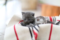 Cute face, newly born kittens looking up. Cute face, newly born kittens on a traditional handmade carpet, red striped rug stock photo