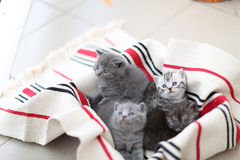 Cute face, newly born kittens looking up. Cute face, newly born kittens on a traditional handmade carpet, red striped rug stock photos