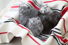 Cute face, newly born kittens looking up. Cute face, newly born kittens on a traditional handmade carpet, red striped rug royalty free stock photos