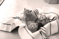 Cute face, newly born kittens looking up. Cute face, newly born kittens on a traditional handmade carpet, red striped rug stock image