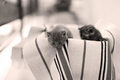 Cute face, newly born kittens meowing. Cute face, newly born kittens on a traditional handmade carpet, red striped rug royalty free stock photography