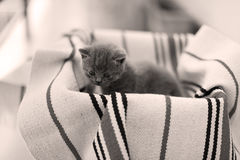Cute face, newly born kittens meowing. Cute face, newly born kittens on a traditional handmade carpet, red striped rug stock photo