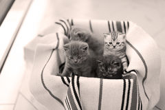 Cute face, newly born kittens meowing. Cute face, newly born kittens on a traditional handmade carpet, red striped rug royalty free stock photo