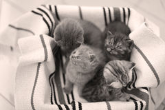 Cute face, newly born kittens meowing. Cute face, newly born kittens on a traditional handmade carpet, red striped rug royalty free stock images