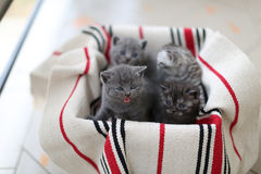 Cute face, newly born kittens Royalty Free Stock Photos