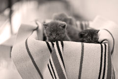Cute face, newly born kittens meowing. Cute face, newly born kittens on a traditional handmade carpet, red striped rug royalty free stock image