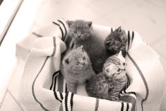 Cute face, newly born kittens meowing. Cute face, newly born kittens on a traditional handmade carpet, red striped rug stock images