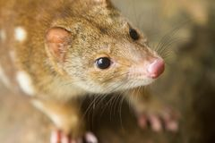 Cute Face of the Quoll. Close up of an inquisitive looking quoll. Australia. These animals are also known as spotted quoll or tiger quoll Royalty Free Stock Photo