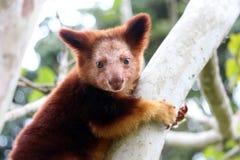 Goodfellow`s tree-kangaroo portrait. The cute face of a young tree kangaroo in Papua New Guinea Royalty Free Stock Photo