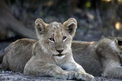 Cute faced young african lion cub. Resting with sibling in the shade stock images