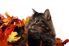 Cute fall cat. Cute cat on white background with autumn leaves royalty free stock photos