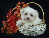 Cute Fall Puppy. Little White puppy with fall leaves sitting in a basket on a black background Stock Image