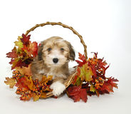 Cute Fall Puppy Stock Photos