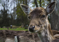 Cute fallow deer. Close up portrait of a young fallow deer Stock Image