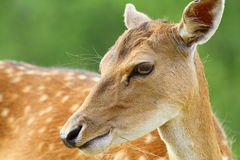 Cute fallow deer doe portrait Stock Photo