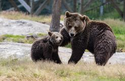 Cute family of brown bear mother bear and its baby cub playing in the grass. Ursus arctos beringianus. Kamchatka bear. Cute family of brown bear mother bear and stock images