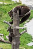 Cute family of brown bear mother bear and its baby cub playing on a tree trunk climbing and biting. Ursus arctos stock photos