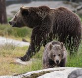 Cute family of brown bear mother bear and its baby cub playing in the grass. Ursus arctos beringianus. Kamchatka bear royalty free stock images