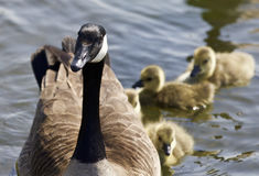 Cute family of the Canada geese are swimming together Stock Photo