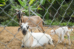 Cute family goat. Royalty Free Stock Photography