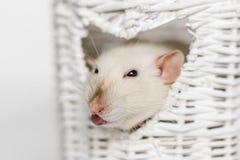 Cute fancy rat in heart shaped vase window. Cute fancy rat showing its tongue in heart shaped white osier vase window stock photography