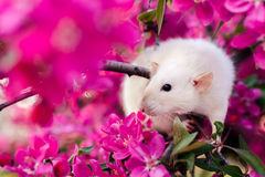 Cute fancy rat sitting in rose apple blossom Royalty Free Stock Image