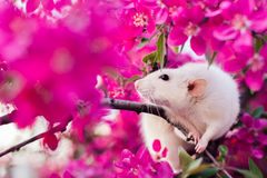 Cute fancy rat sitting in rose apple blossom. Adorable fancy rat sitting in gorgeous spring apple blossom Stock Photography