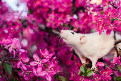Cute fancy rat sitting in rose apple blossom. Adorable fancy rat sitting in gorgeous spring apple blossom inhaling floral fragrance Stock Images