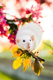 Cute fancy rat sitting in rose apple blossom Stock Photo