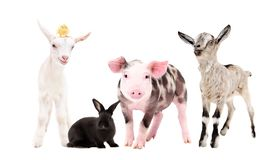 Cute farm animals. Standing isolated on white background royalty free stock photography