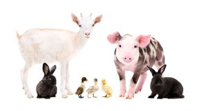 Cute farm animals standing together. Isolated on white background royalty free stock photography