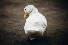 Cute farm duck walking in the yard close-up, white duck bird sta Stock Photography