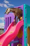 Cute Playful Goat Stock Photos
