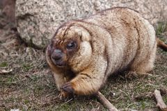 Cute fat animal strides paws looks. Close-up fat fat woodchuck with beautiful fur sitting on the green grass. Cute fat animal strides paws looks. Close-up fat royalty free stock image