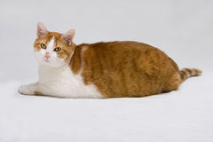 Cute fat cat. Cute white with orange fat cat laying on the floor, isolated on white royalty free stock images