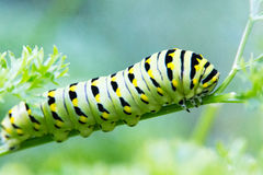 Cute Fat Caterpillar Stock Images