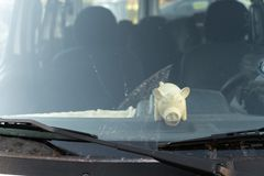 Cute fat pig toy behind a car`s windshield window. Sunny reflection royalty free stock photos