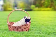 Cute fat Pug stock image