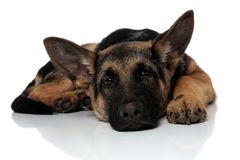 Cute and fatigued german shepard lying with head down. Cute and fatigued german shepard lying on white background with head down on white background royalty free stock image