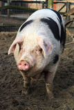 Cute fatty. Beautiful cute fat piggy (sus scrofa) being happy outside Royalty Free Stock Photography