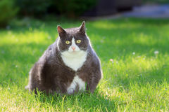 Cute fatty fat. Slight obese, or fat, pussy cat outside in the sunny garden with fresh green grass in spring in the Netherlands Stock Image