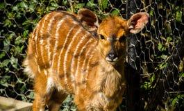 A cute fawn with big ears nyala. A cute small nyala with big ears Stock Photos